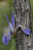Blue Flag Wild Iris, Colorado