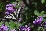 Pale Swallowtail butterfly on Hesperus flowers, Colorado