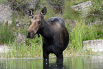 Moose Cow in a pond, Gunnison National Forest, Colorado