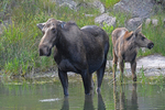 Moose Cow Mother and calf in a pond, Gunnison National Forest, Colorado