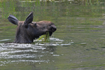 Moose Cow feeding in a pond, Gunnison National Forest, Colorado