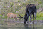 A Bull Moose in velvet and a Mule Deer Doe browsing in a pond together, Gunnison National Forest, Colorado