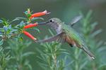 Broad-tailed Hummingbird female feeding on a Vermillionaire flower, Colorado
