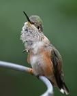 Broad-tailed Hummingbird female, Colorado