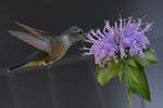 Broad-tailed Hummingbird female feeding on a Bee Balm flower, Colorado