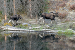A Moose Mother with her calf following behind her, Gunnison National Forest, Colorado