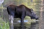 A Moose calf feeding in a pond, Gunnison National Forest, Colorado