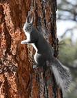 Abert's Squirrel, Winter Season, Colorado
