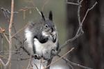 Abert's Squirrel sitting on tree branches eating, Winter season, Colorado