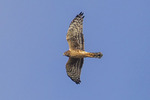 Circus cyaneus; female Northern Harrier; flying in blue sky at Block Creek Natural Area in the Texas Hill Country near Comfort, Texas