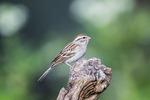Chipping Sparrow; Spizella passerina; perching on branch at Block Creek Natural Area in the Texas Hill Country near Comfort, Texas