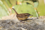Carolina Wren;  Thryothorus ludovicianus; perching on a rock at Block Creek Natural Area in the Texas Hill Country near Comfort, Texas