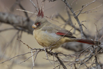 Pyrrhuloxia; Cardinalis sinuatus; Davis Mountains State Park, west, Texas, winter