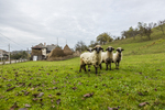 Sheep, pasture, rural village, romania