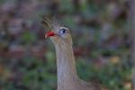 Red-legged Seriema; Cariama cristata; Mato Grosso de Sul;  Southern Pantanal