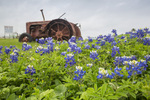 Texas bluebonnets, in a field with an old tractor, Bolivar peninsula, Texas, spring.