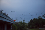 mexican free-tailed bats, Tadarida brasiliensis, emerging from under the Waugh Street Bridge, at Allen Parkway, over Buffalo Bayou, in Houston Texas.