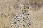 Serval, Leptailurus serval, Serengeti, Tanzania, Africa.