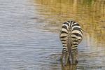 Burchell's Zebra; Equus quagga burchelli; Mammalia; mammals; Plains zebra; Tarangire National Park; United Republic of Tanzania; zebra