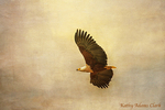 African fish eagle; Haliaeetus vocifer; in flight, National Park; Tarangire National Park, Africa.