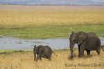 African Elephant;  Loxodonta africana; baby, with mother, Tarangire National Park; United Republic of Tanzania