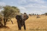 African Elephant;  Loxodonta africana; bull charging, Tarangire National Park; United Republic of Tanzania