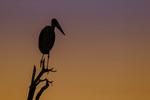 Marabou Stork; Leptoptilos crumeniferus; silhouette, Tarangire National Park; United Republic of Tanzania