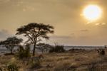 Plains zebra, Tarangire National Park, Tanzania, Africa.