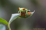 Red-eyed tree frog, Rana de Ojos Rojos, Agalychnis Callidryas, Central Highlands, Costa Rica.