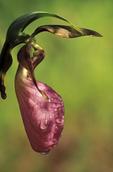 Pink lady's slipper orchid (Cypripedium acaule).