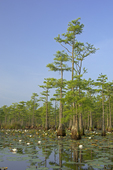 Pond cypress (Taxodium ascendens) and water lily (Nymphaea odorata) on Suggs Millpond (Horseshoe Lake) in eastern North Carolina. The millpond is a Carolina bay.