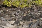 Marine Iguana Amblyrhynchus cristatus Fernandina Island AKA Narborough Island Galapagos Islands, Ecuador 25 August 2010