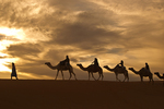 Camel caravan, in the Sahara Desert of southeastern Morocco, led by a man in traditional robes and turban of the region. Arabian Camel, Camelus dromedarius