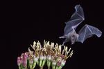Lesser Long-nosed Bat, Leptonycteris curasoae, Fruit eating bat, feeding on an agave bloom, in southern Arizona in summer.