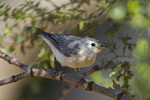 Lucy's warbler, Oreothlypis luciae, Southern Arizona, near Green Valley and Madera Canyon, Sonoran Desert.