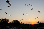 Mexican free-tailed bats (Tadarida brasiliensis) emerging cave at evening on feeding foray, Texas.