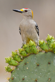 Golden-fronted Woodpecker (Melanerpes aurifrons) adult male foraging