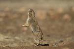 Black-tailed Prairie Dog (Cynomys ludovicianus) barking alarm
