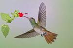 buff-bellied hummingbird (Amazilia yucatanensis) feeding at flowers