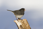 Dark-eyed Junco (Junco hyemalis) perched on stump while wintering in north Texas