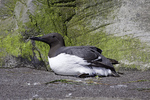 Common Murre  Uria aalge Oregon Coast Aquarium, Newport, Oregon, United States 29 April     Adult in breeding plumage.    Alcidae      CAPTIVE