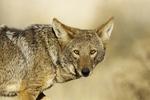 Coyote Canis latrans Tucson, Arizona, United States 27 November       Adult           Canidae