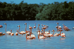 Greater Flamingo Phoenicopterus ruber Celestun, Yucatan, MEXICO February    Adult    Phoenicopteridae