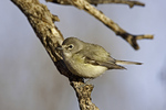 Plumbeous Vireo  Vireo plumbeus  Tucson, Pima County, Arizona, United States  10 January      Adult         Vireonidae