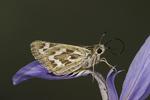 Uncas Skipper  Hesperia uncas White Mountains, Arizona, United States 17 June      Adult Female         Hesperiidae