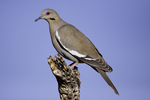 White-winged Dove  Zenaida asiatica Amado, Santa Cruz County, Arizona, United States 7 May       Adult             Columbidae