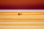 American Avocet, Recurvirostra americana, flock flying at sunrise, calm water, silhouette, Bolivar Flats, Texas gulf coast.