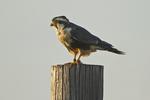 Aplomado Falcon (Falco femoralis) feeding and resting on fence, south Texas