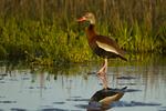 Black-bellied Whistling Duck (Dendrocygna autumnalis) wading in salt marsh