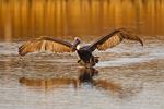 Brown Pelican (Pelecanus occidentalis) adult in flight, landing, Aransas Co., Texas, USA